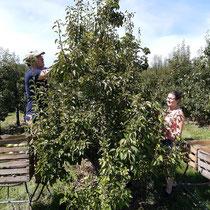Die Birnen werden von Hand gepflückt.