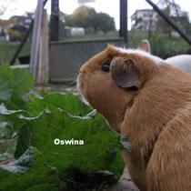 Oswina