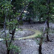 Malaysia - Borneo - Sarawak - Mangrovensumpf