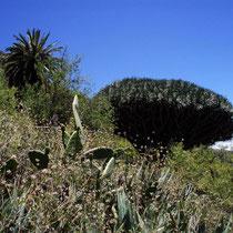 Spanien - Kanarische Inseln - La Gomera - Drachenbaum