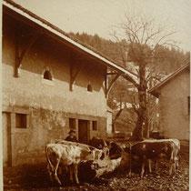 Bétail dans la cour de la ferme rénovée (postérieur à 1910)