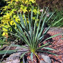 Yucca necopina fh 1185.29 in Kultur (c) Walter Schönherr
