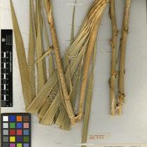 Yucca necopina | Tropicos.org Copyright (c) Missouri Botanical Garden