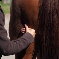 Pferde-Massage