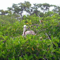 Tierwelt der Galápagos Inseln: Pelikan