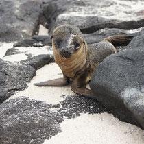 Seelöwenbaby auf den Galápagos Inseln
