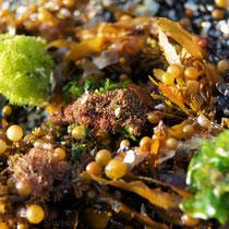 Gelber Seetang und grüne Algen sind Blickfänge auf dem schwarz-weissen Strand