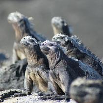 Galápagos Inseln: Meeresechsen - Aufwärmen nach der Mahlzeit