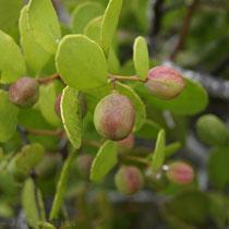 Pflanzenwelt der Galápagos Inseln