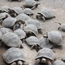 Landschildkröten in der Charles Darwin Station - Galápagos Inseln