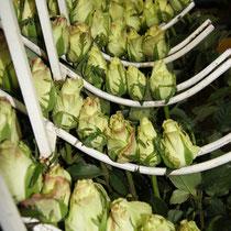Auf einer Rosenfarm - Sortierung der Rosen nach Güte