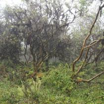 Pflanzen im Nieselregen auf den Galápagos Inseln