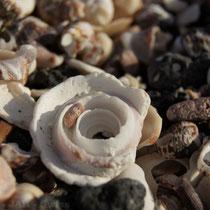 Schneckenhäuser, Muschelschalen, Stachel von Seeigeln, bunte Steine überall