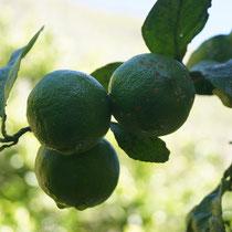 Limonen am Baum