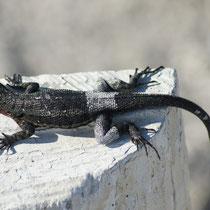 Galápagos Inseln: Gecko