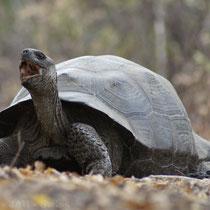 Galápagos Landschildkröte