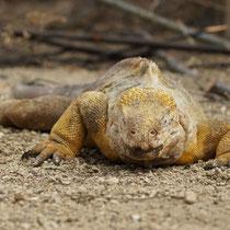 Galápagos Inseln: Drusenkopf