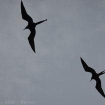 Fregattvögel über den Galápagos Inseln