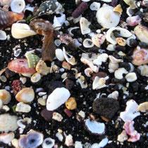 Buntes Durcheinander auf dem schwarzen Lavasand: Muschelschalen, Bruchstücke von Seeigelpanzern und Schneckenhäusern