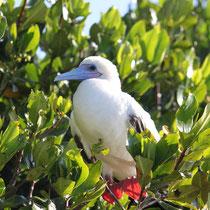Galápagos Inseln: Rotfusstölpel