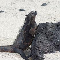 Galápagos Inseln: Meeresechse beim Sonnenbad