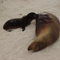 Mutter und Kind - Seelöwen auf den Galápagos Inseln