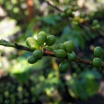 Kaffee am Strauch - erst die roten Früchte werden gepflückt