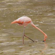 Galápagos Flamingo