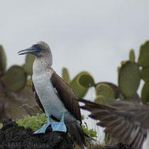 Blaufusstölpel auf den Galápagos Inseln