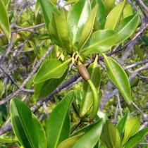Pflanzen auf den Galápagos Inseln