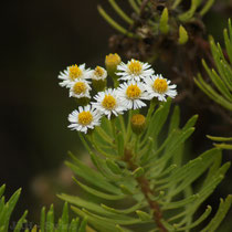Blüten auf den Galápagos Inseln