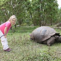 Landschildkröte im Hochland von Santa Cruz auf den Galápagos Inseln