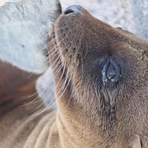 Seelöwenbaby - Galápagos inseln