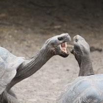 Landschildkröten streiten sich auch gelegentlich auf den Galápagos Inseln