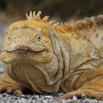 Drusenkopf auf den Galápagos Inseln