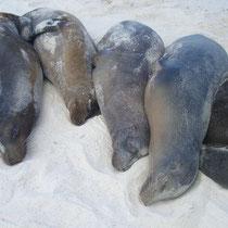 Faulenzen auf den Galápagos Inseln