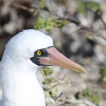 Maskentölpel auf den Galápagos Inseln