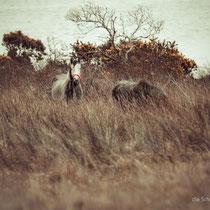 Connemara Pferde