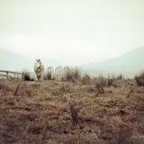 Connemara Pferd