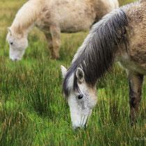 und wieder Connemara Pferde