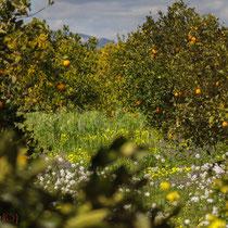 Orangenbäume in voller Blüte