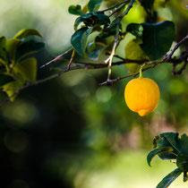 Zitronenzeit im März