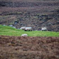 Connemara Schafe