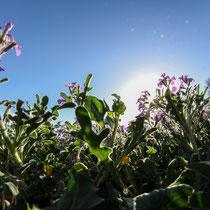 Blütezeit auf Sizilien