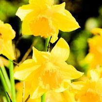 Daffodils zu Daffodilsday