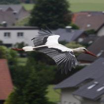 Altvogel über den Dächern von Hille (c)Bense