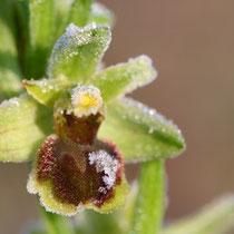 Ophrys araneola (Lapanouse de Cernon)