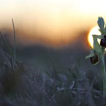 Ophrys araignée (Sud de la France)