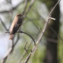 Gobemouche noir femelle (Camargue)