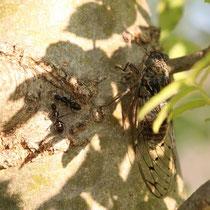 La cigale et LES ? fourmis (Sud de la France)